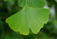 Ginkgo another great ingredient of BrainPill™ and heres the image of its natural form for the readers of this review